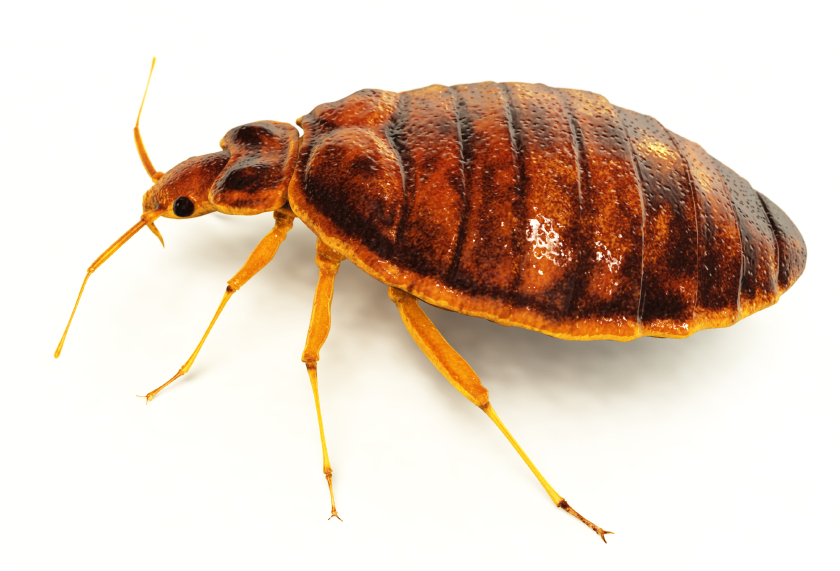 Bed Bugs What Do They Look Like