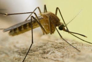 mosquito west nile virus bakersfield and ventura california