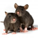 two little black rats