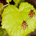 red and black seed bugs california
